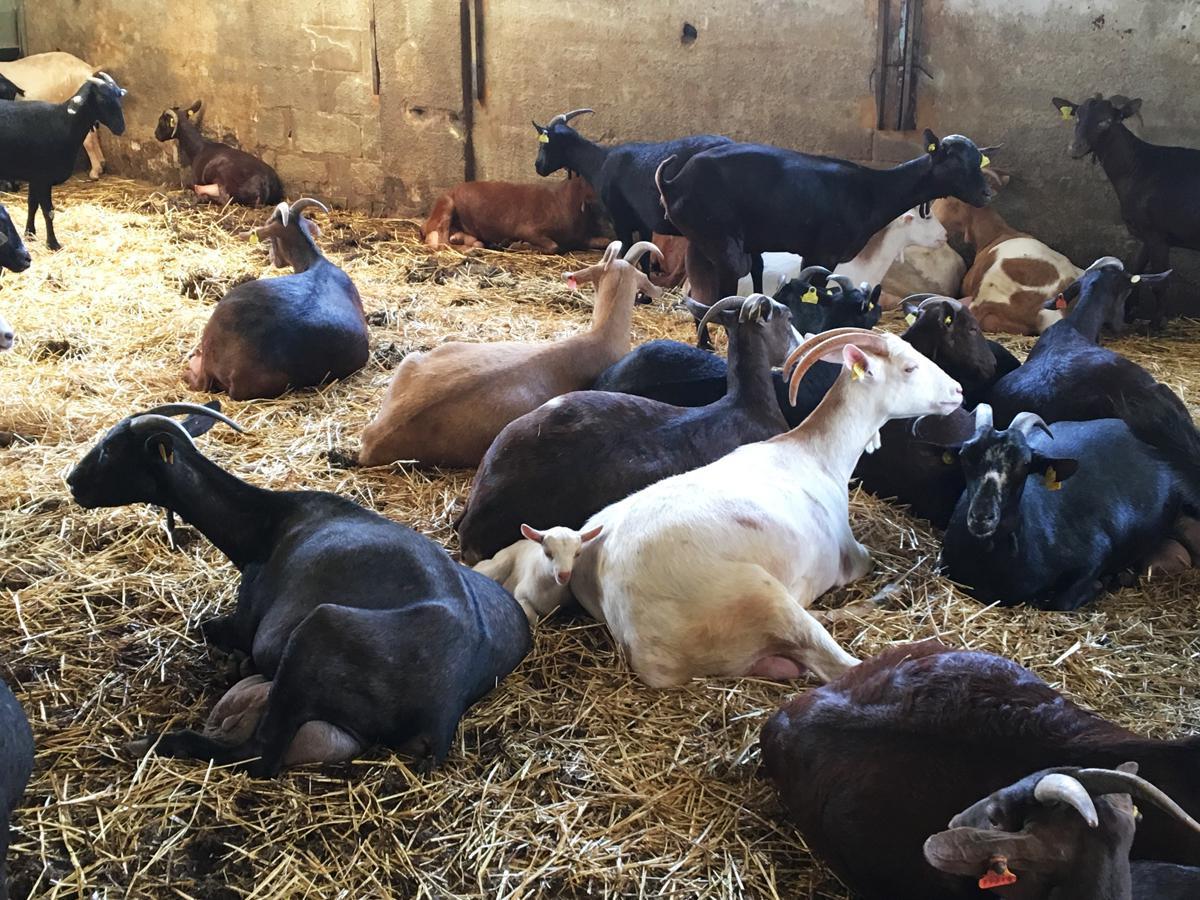 Petites coccinnelles sur lit de fromage de chèvre