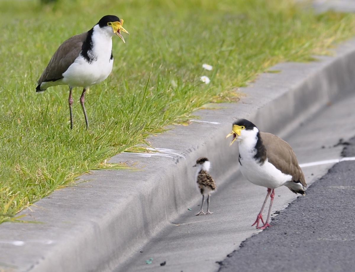 Birdwatching- Iconic Island Birds