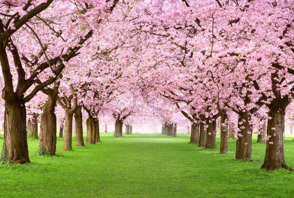 Essex County Cherry Blossom Festival