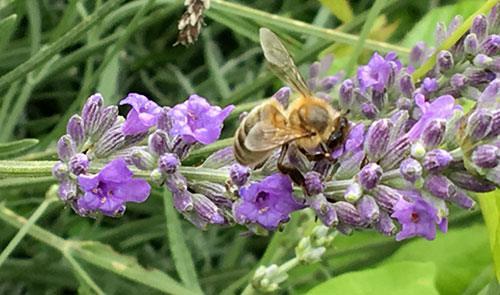 30 fiori da piantà per aiutà l'ape