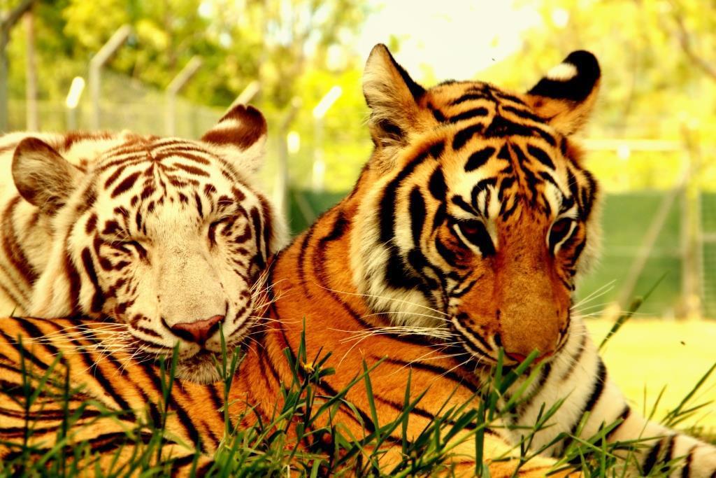 Tigers at Casela Park