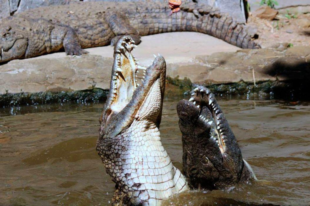 Crocodile Feeding at La Vanille