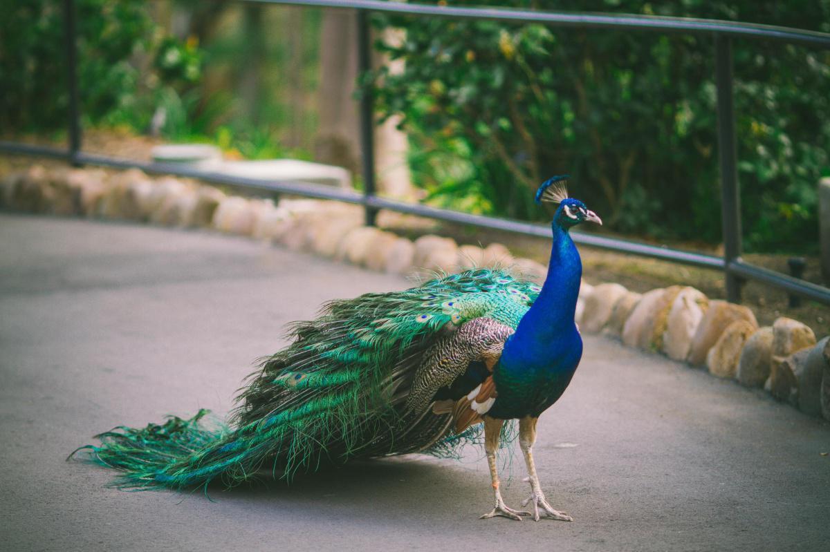 Peacock at Casela