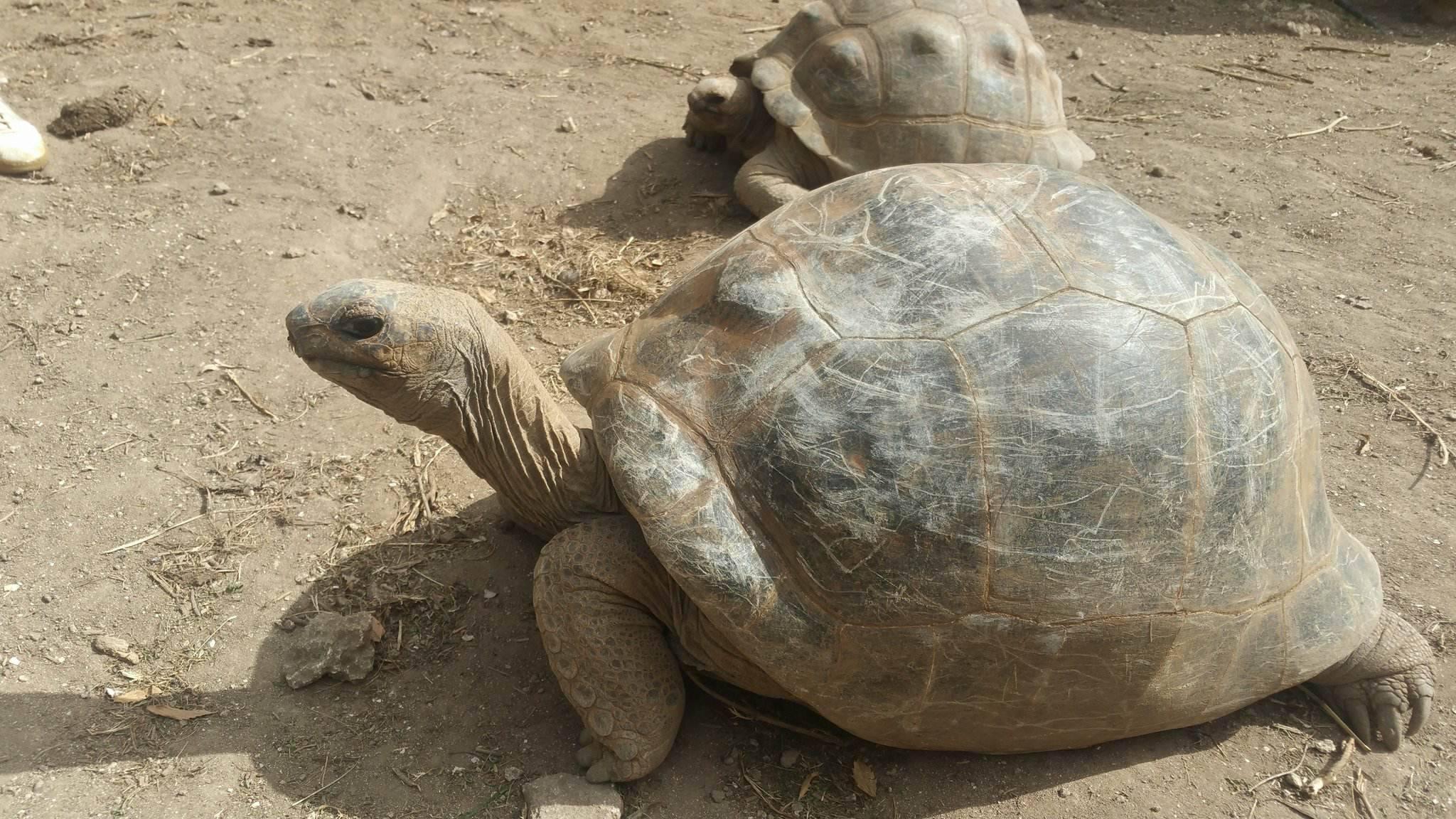 Giant Tortoise of Mauritius