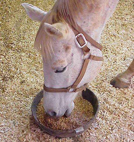L'avena nell'alimentazione del cavallo: pregi e difetti