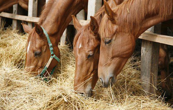"""Cavallo: un erbivoro """"speciale"""""""