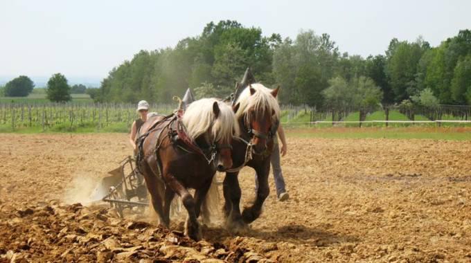 Cavalli di una volta e lavoro nei campi: mai lavorare a stomaco pieno