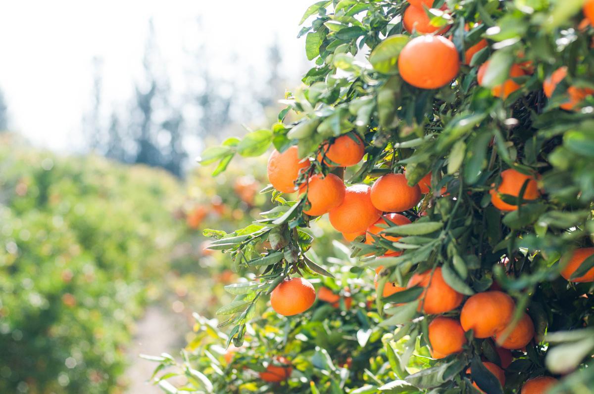 L'huile essentielle d'orange douce (Fiche détaillée sous l'interview)