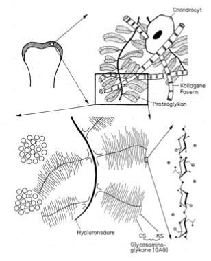 ArthroseJournal: Biochemie und Pathobiochemie d hyalinen Gelenksknorpels