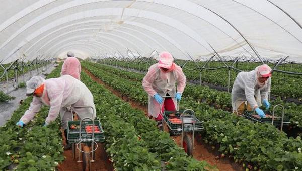 عودة 523 عاملة موسمية بالحقول الفلاحية بإسبانيا الى المغرب