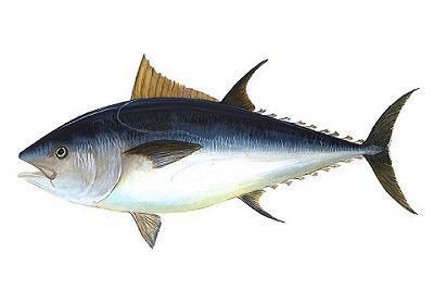 Atum Bonito - Katsuwonus pelamis