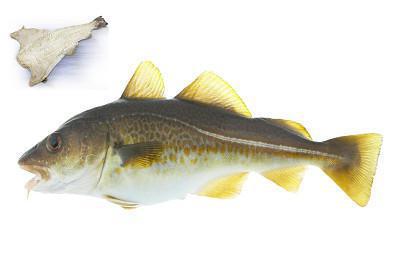 Bacalhau - Gadus morhua