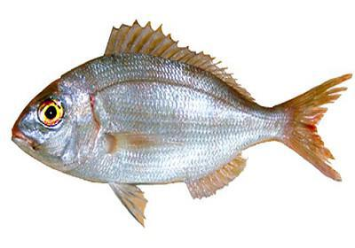 Bica - Pagellus erythrinus