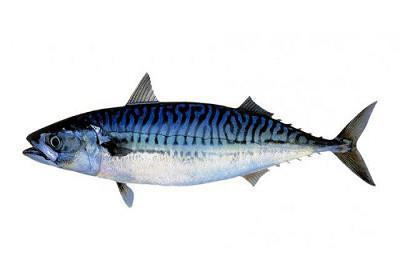 Cavala ou Sarda - Scomber spp.