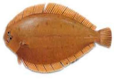 Lingua - Dicologoglossa cuneata