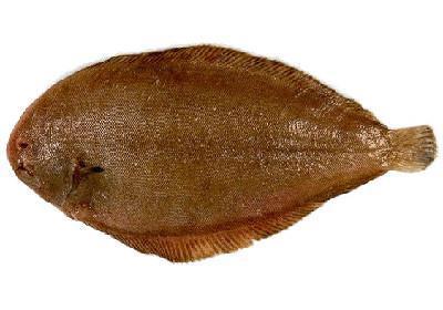 Linguado - Solea spp.