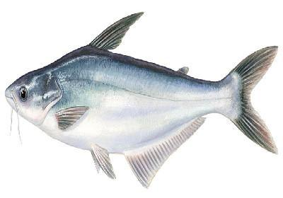 Peixe Gato / Panga - Pangasianodon hypophthalmus / Pangasius bocourti