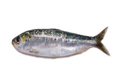 Sardinha - Sardina pilchardus