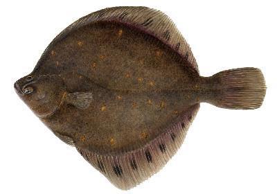 Solha Avessa - Pleuronectes platessa