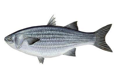 Tainha - Mugil spp.
