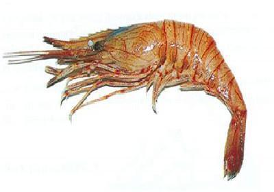 Camarão branco legítimo, Camarão da costa e Camarão de espinho - Palaemon serratus