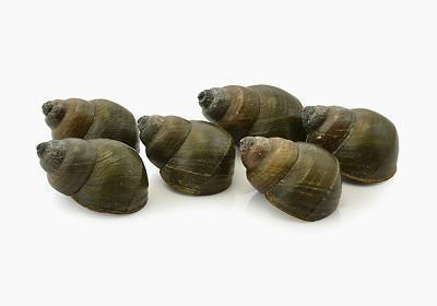 Burriés - Gibulla spp., Littorina litorea e Monodonta lineata