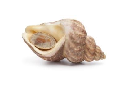 Buzo - Buccinum undatum