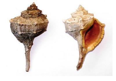 Canilha - Bolinus brandaris