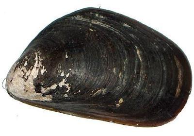 Mexilhão - Mytilus spp.