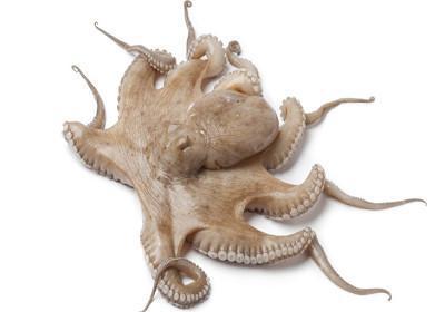 Polvo vulgar - Octopus vulgaris