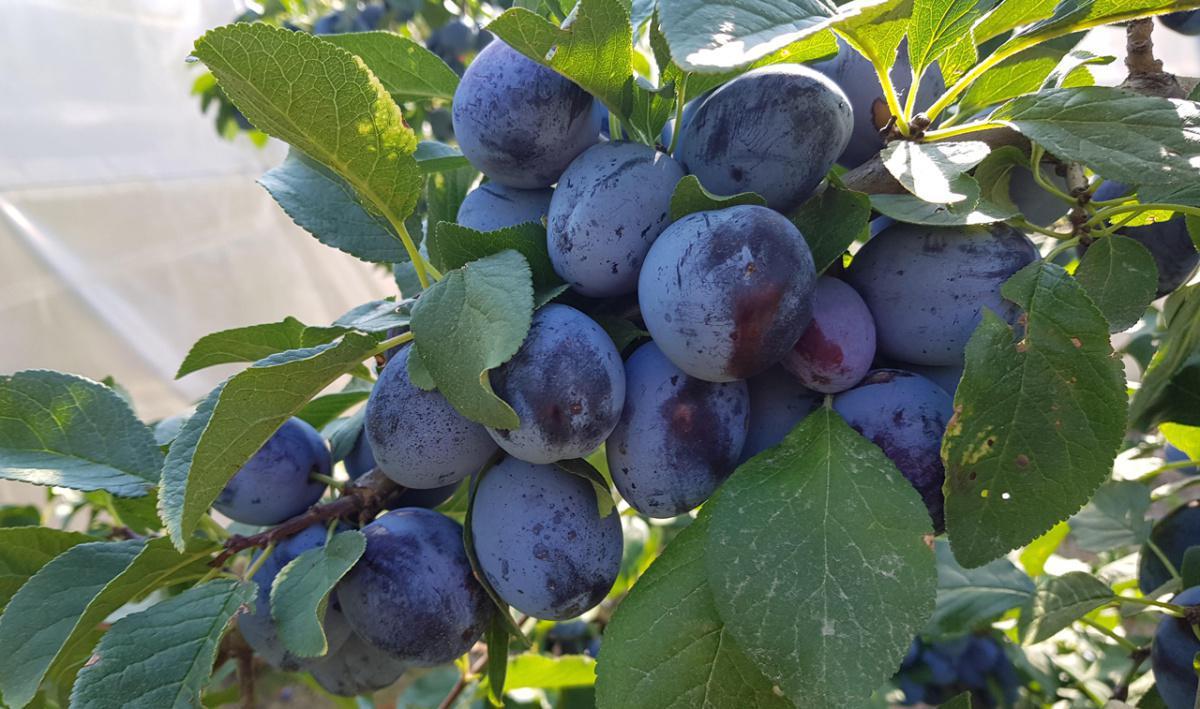 Bruchez Fruits