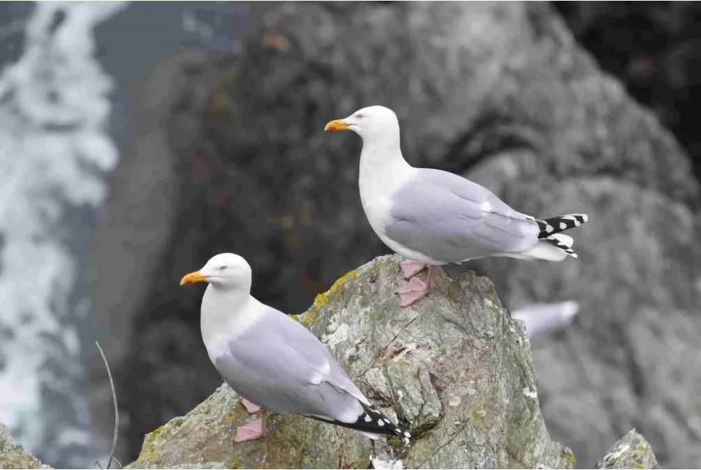 Des mesures pour protéger les oiseaux sur les sites de la pointe de la Crèche et du cap Blanc-Nez