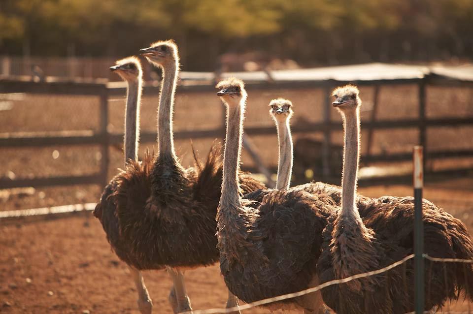Ostrich Farm Curaçao