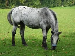 La robe du cheval : les panachures