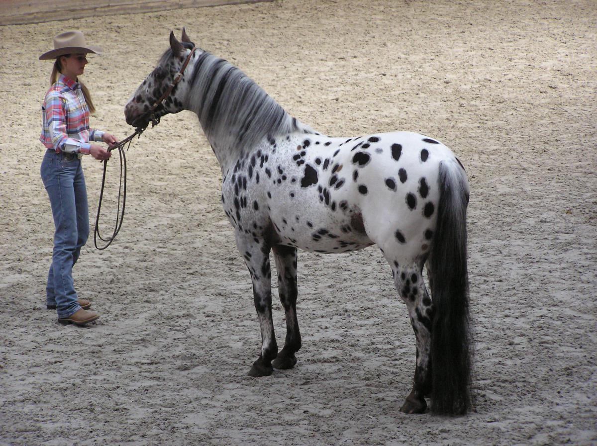 L'Appaloosa, un cheval mythique