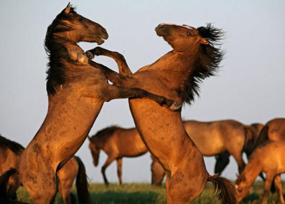 Les chevaux MUSTANGS