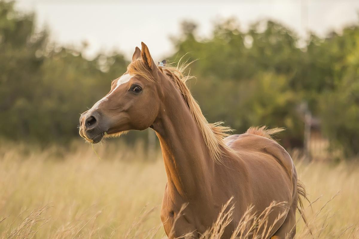 Les capacités sensorielles de votre cheval