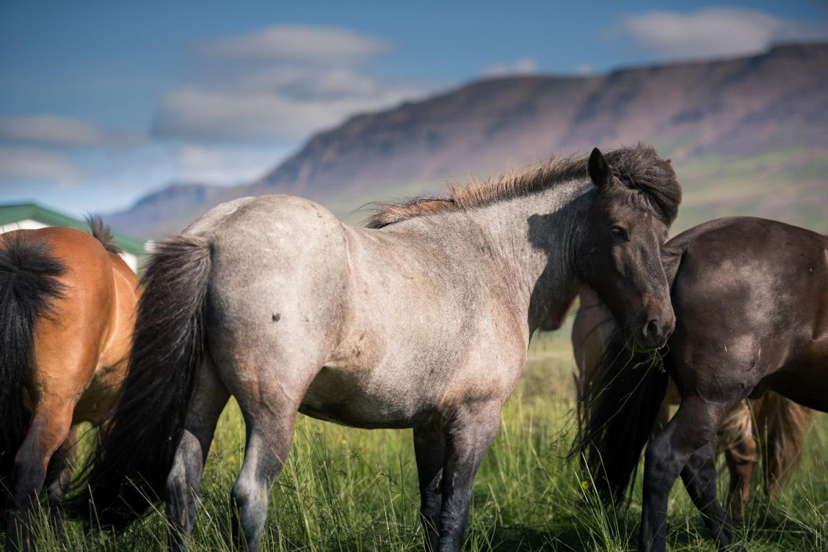 Le cheval Islandais