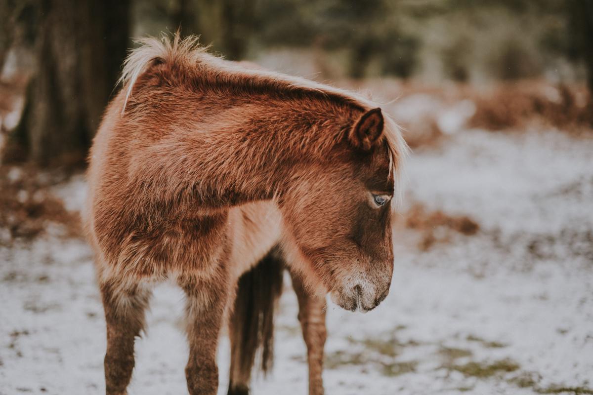 Les races de chevaux : Le poney Dartmoor