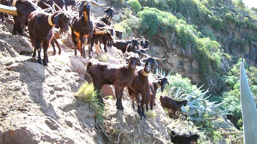 Geitenhoeders vragen de autoriteiten de mobiliteit van hun kudde niet te beperken