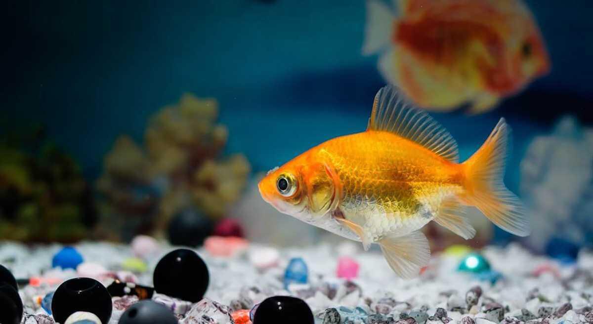 Ik zoek een waterdichte, niet te grote aquarium voor een paar goudvissen