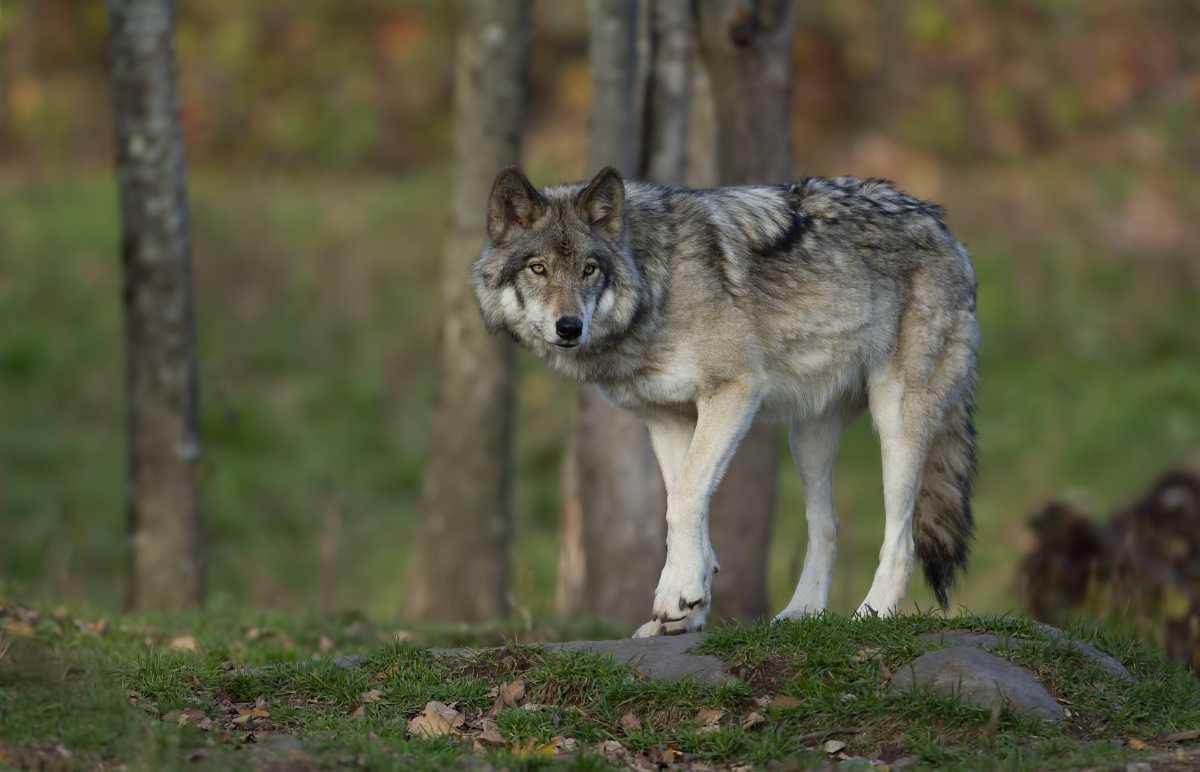 Wippingen: Demonstranten fordern mehr Schutz vor Wölfen