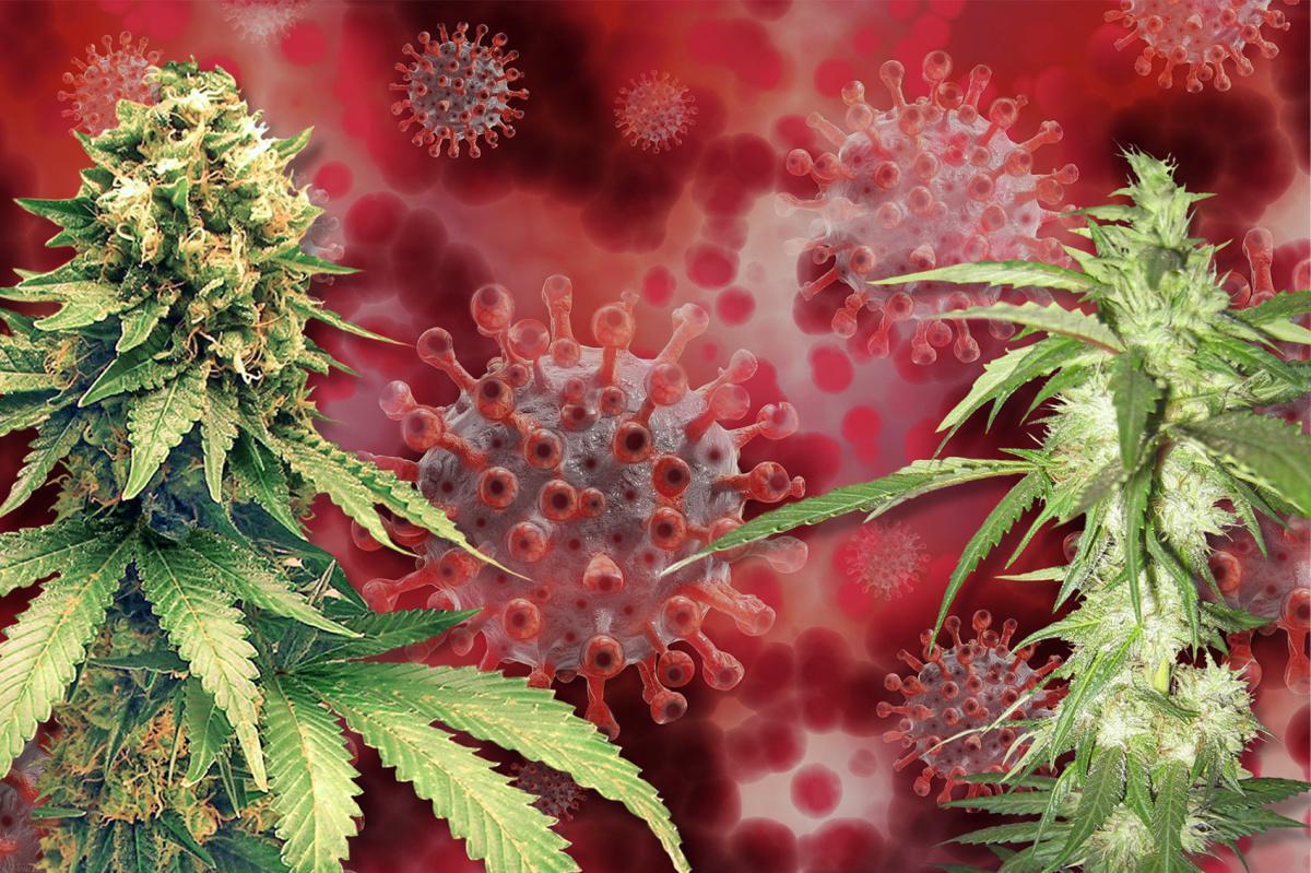 Le cannabis pourrait être plus efficace que l'hydroxychloroquine contre le Covid-19