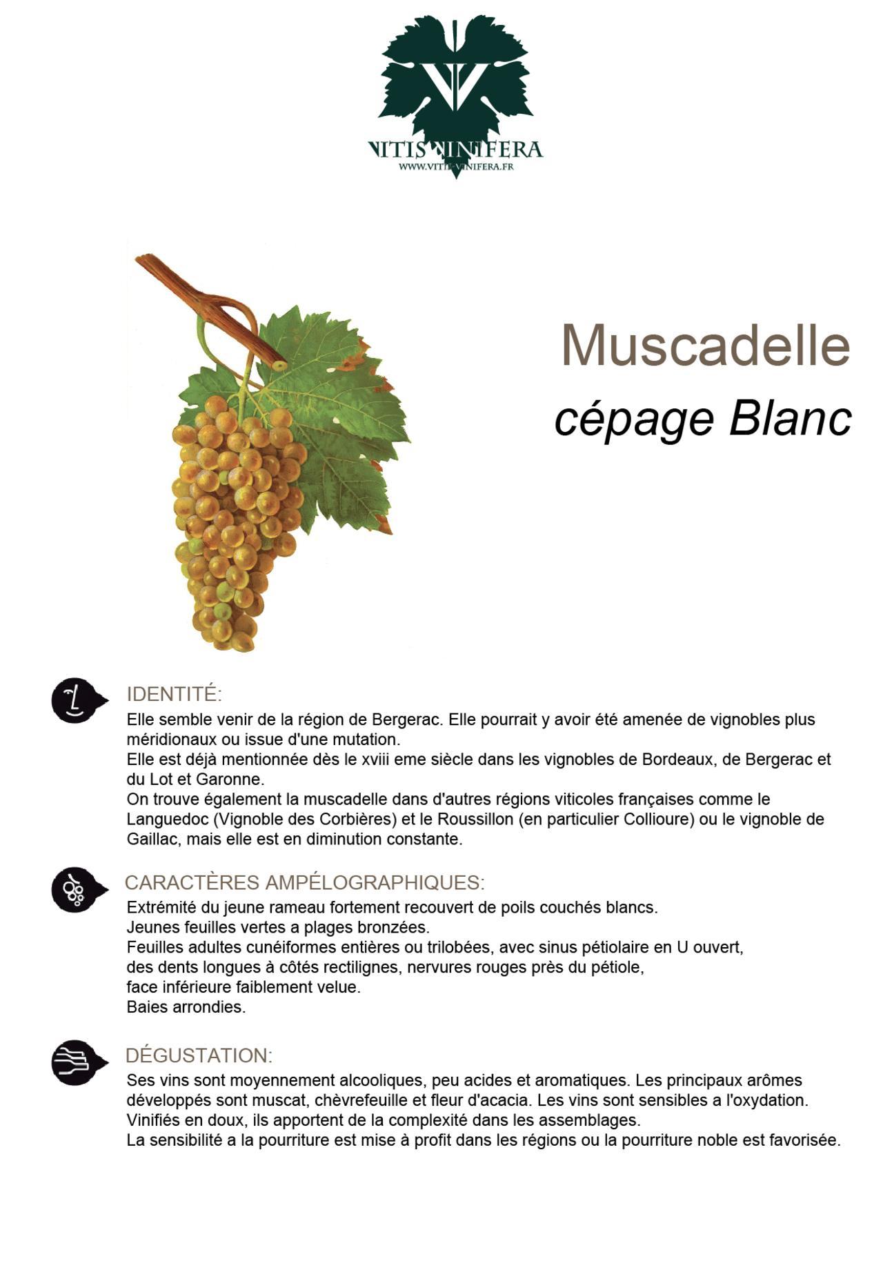 CÉPAGE - MUSCADELLE