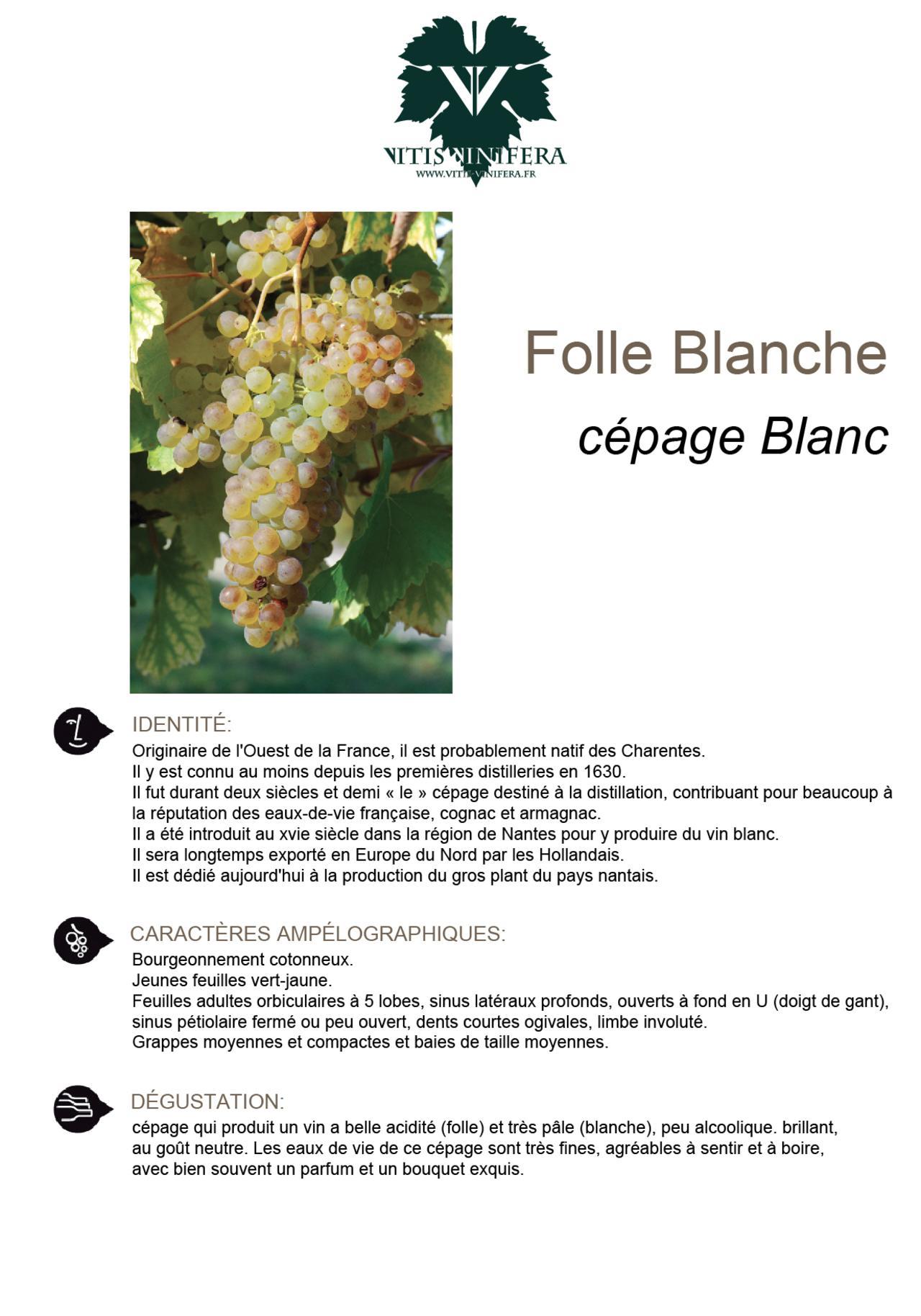 CÉPAGE - FOLLE BLANCHE