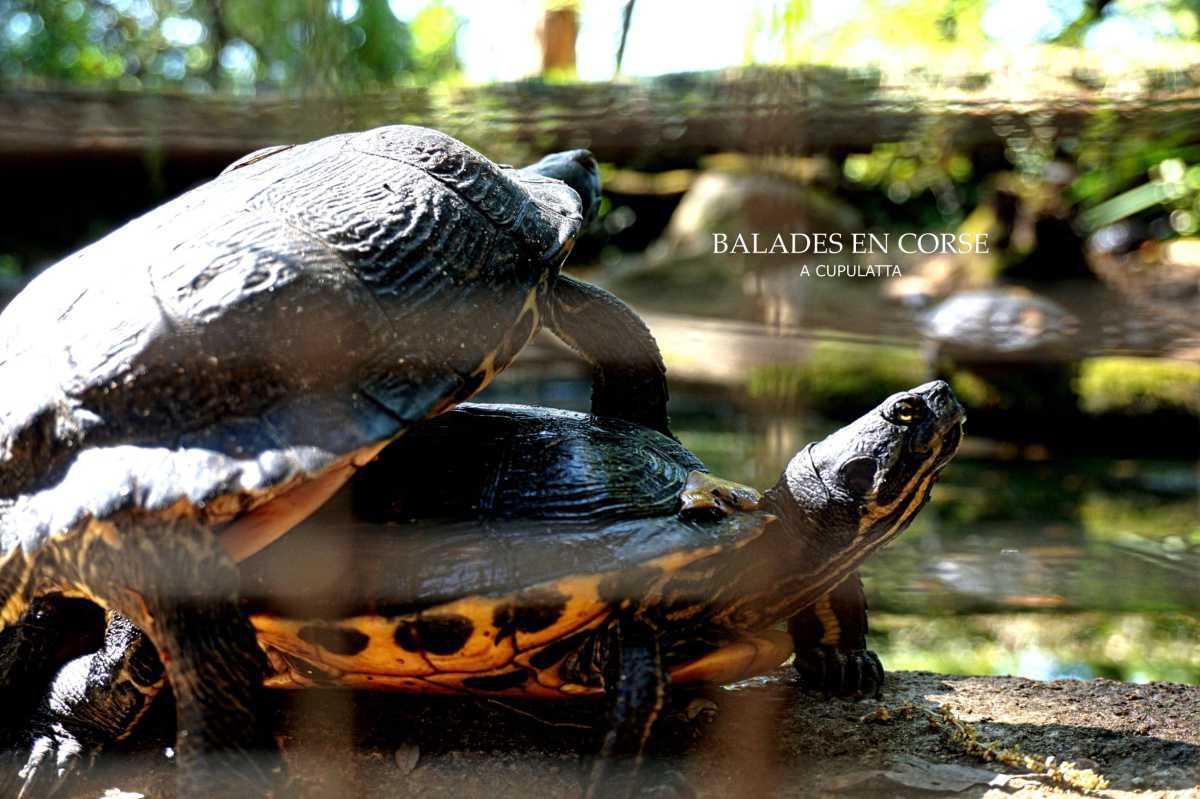 A Cupulatta - la cité des tortues