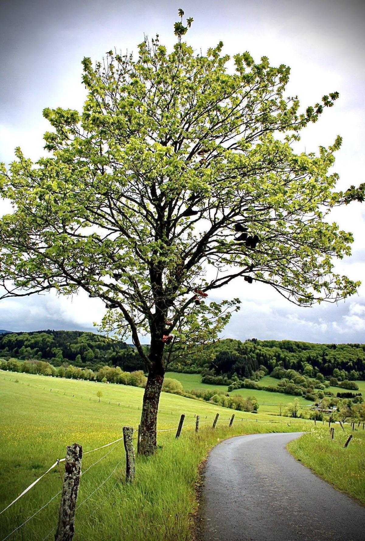 Schuh- Baum in Gerolstein -Nord