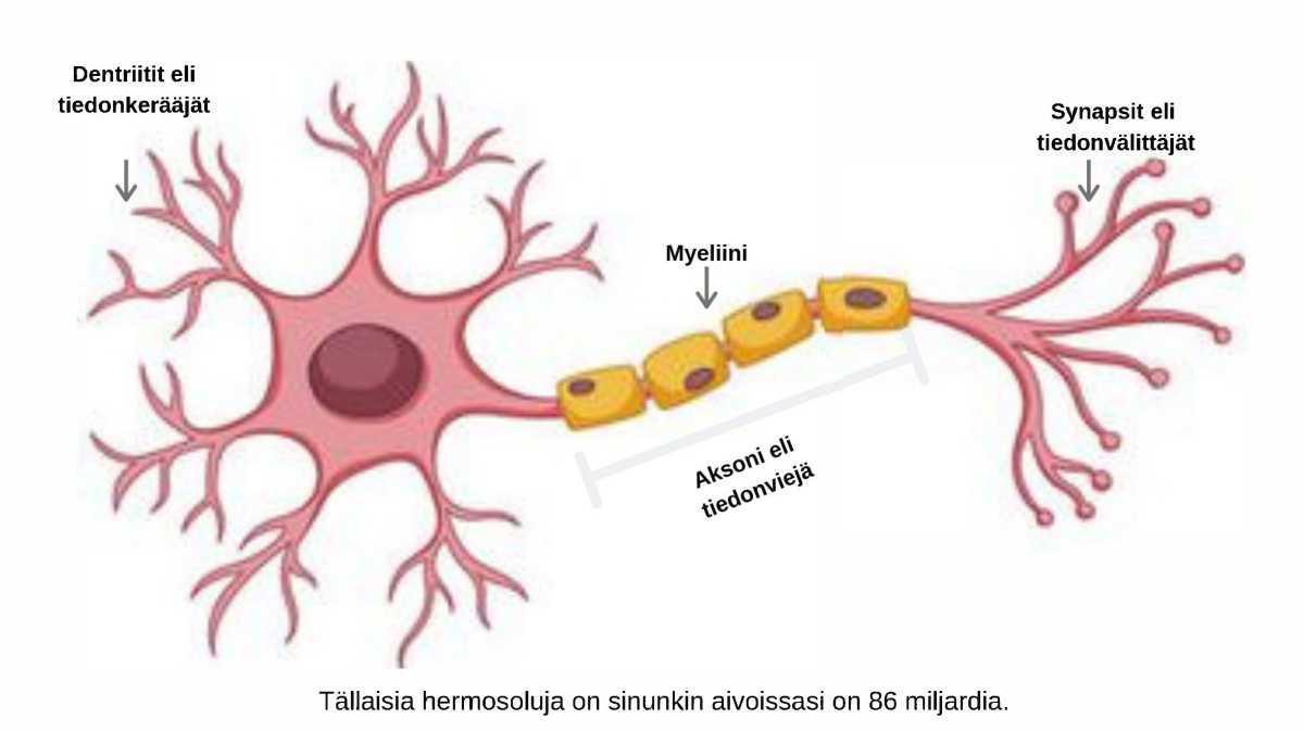 Aivoissa on 86 miljardia neuronia