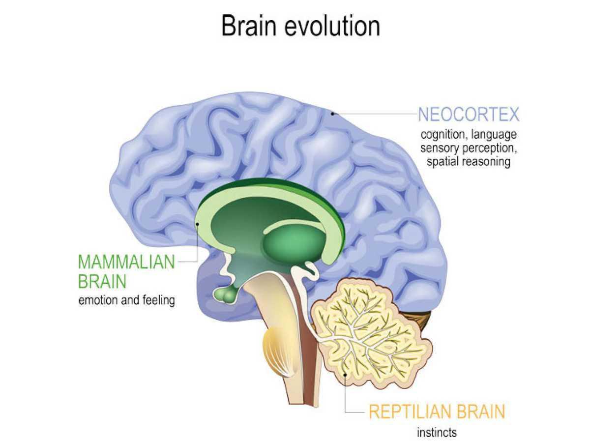 Kolmet aivot yksissä aivoissa