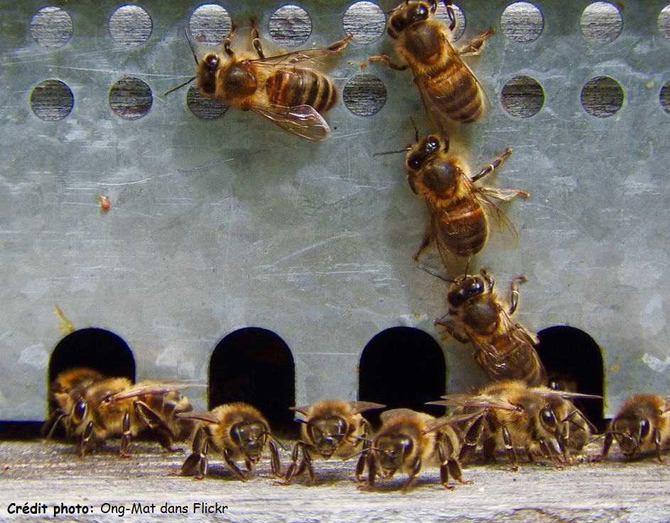 Les différentes castes chez l'abeille